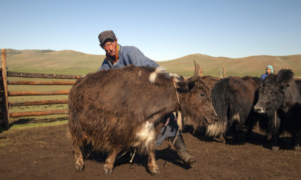 1.mongolia-yak-cooperative-Galbadrakh.jpg