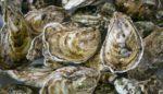 This Humble Mollusk Can Save Shorelines From Rising Seas