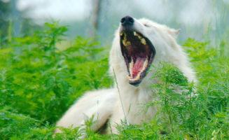 yawninggraywolf.jpg